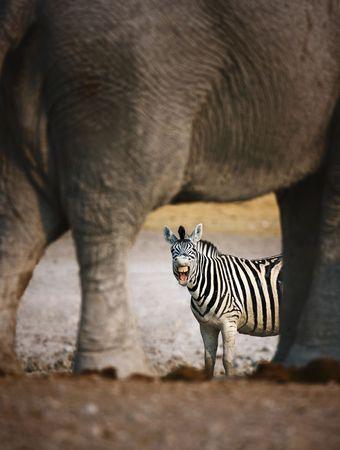 Animal humour; Zebra barking; seen through elephants legs; Etosha photo