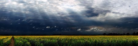 Panorama of a large sunflower field with moody sky Stock Photo - 7468434