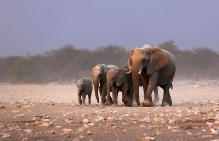 africana: Elephant herd approaching over dusty plains of Etosha