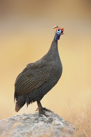 Guinea-fowl perched on a rock - Etosha national park