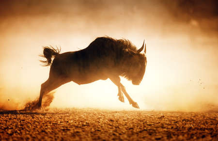 Blue wildebeest running in dust - Kalahari desert - South Africa photo
