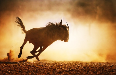 Blue wildebeest running in dust - Kalahari desert - South Africa Stock Photo - 20995262