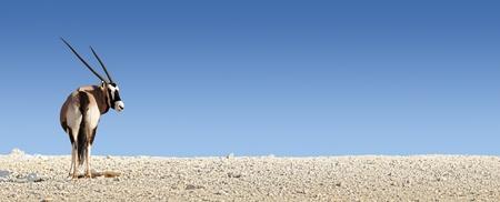 Gemsbok on white rocky soil   Oryx gazella  - Kalahari -  South Africa Stock Photo