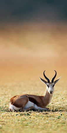 marsupialis: Springbok resting on green grass  - Antidorcas Marsupialis - Kalahari -  South Africa Stock Photo