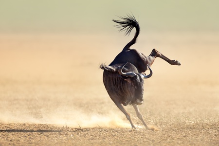 Blue wildebeest jumping playfully around - Kalahari desert - South Africa photo