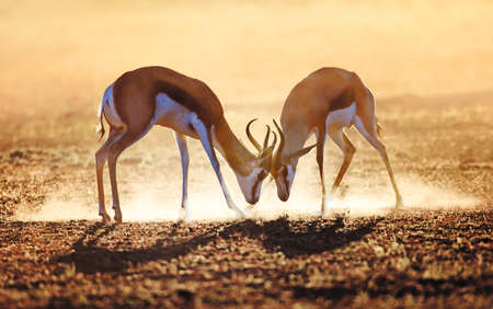 Springbok dual in dust - Kalahari desert - South Africa photo