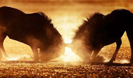 Blue wildebeest dual in dust - Kalahari desert - South Africa photo