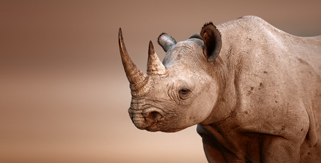 animal in the wild: Black Rhinoceros portrait  Diceros bicornis  - Salt pans of Etosha National Park  Namibia  Stock Photo