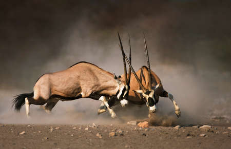 aggressiveness: Intense fight between two male Gemsbok on dusty plains of Etosha