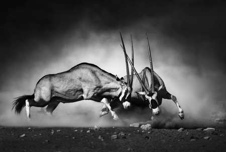 animals together: Gemsbok dual (Artistic processing) Stock Photo