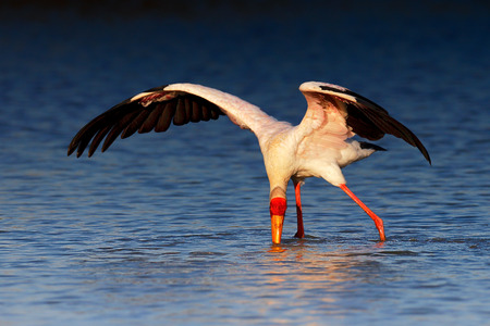 spreaded: Yellow-billed stork (Mycteria ibis) wading and seeking food - Kruger National Park (South Africa)