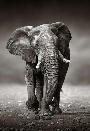 abordagem Elefante africano Loxodonta Africana de frente Parque Nacional de Etosha Nam