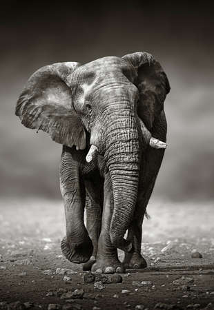 ELEFANTE: Enfoque de elefante africano Loxodonta Africana desde el frente Parque Nacional de Etosha de Namibia Foto de archivo