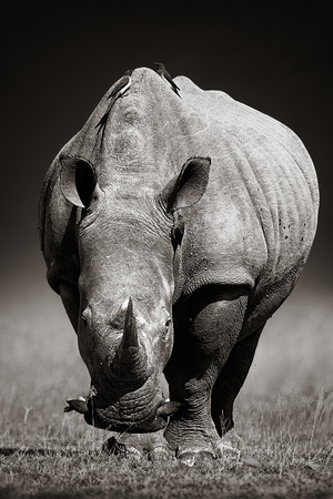 oxpecker: White Rhinoceros Ceratotherium Simum approaching from front  Kruger National Park South Africa