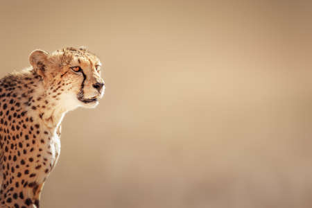 and south: Cheetah portrait  - Kalahari desert - South Africa Stock Photo