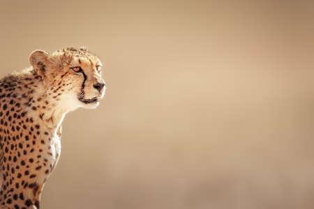 chita: Retrato del guepardo - desierto de Kalahari - Sudáfrica