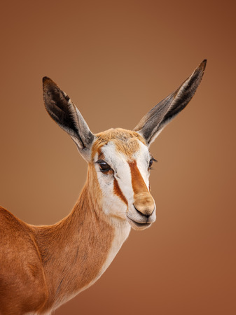 springbok: Immature Springbok Antidorcas marsupialis portrait - Kalahari desert  South Africa