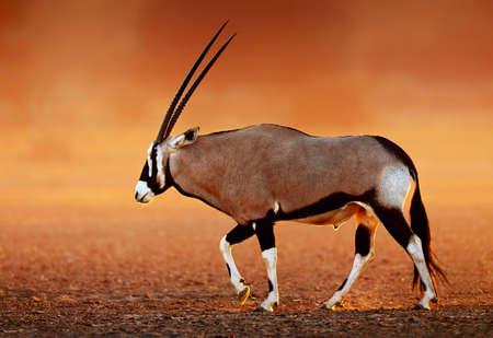 desierto: Gemsbok (Oryx gazella) en polvorientas llanuras del desierto al atardecer. Kalahari - Sudáfrica