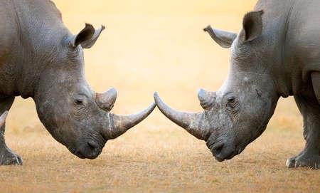 pelea: Rinoceronte blanco (Ceratotherium simum) cabeza a cabeza - Parque Nacional Kruger (Sudáfrica) Foto de archivo