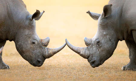 intimidating: White Rhinoceros (Ceratotherium Simum) head to head - Kruger National Park (South Africa)