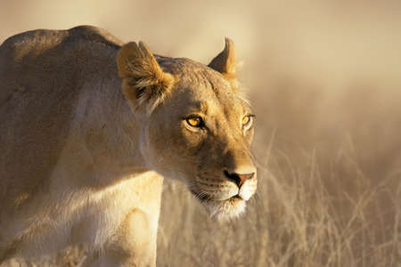 one female: Portrait of a female lion in the grass of the Kgalagadi desert Stock Photo