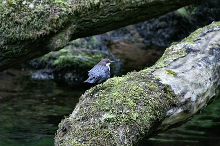 exmoor: Dipper at Watersmeet Exmoor