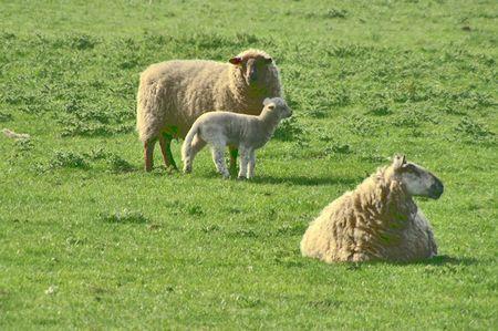 ewe: Ewe & Lamb