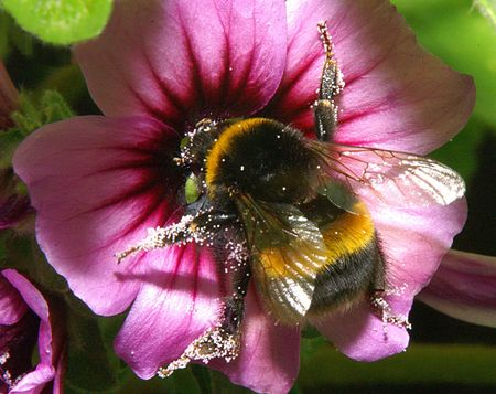 tree works: Bumble works at the blossom of a tree mallow