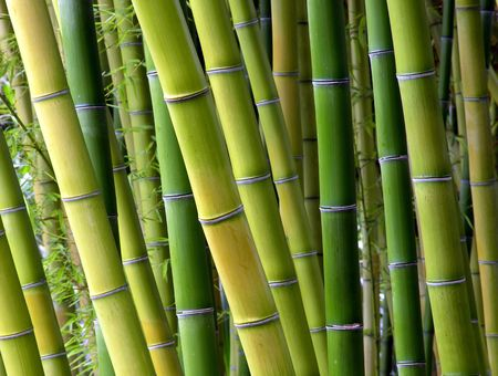 bamboo forest: Colorful Green Bamboo Trees In A Japanese Garden. Rich green colors with lots of crisp detail.