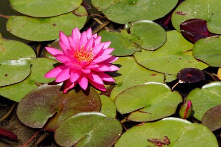 lilypad: Pink Lotus On Green Lilly Pads Stock Photo