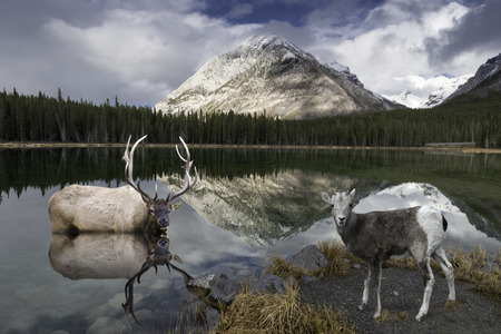 banff: A young Rocky Mountain Sheep at Reflective Buller Pond in Canada
