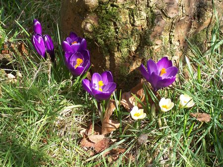 a bunch of crocusses by a tree in spring photo