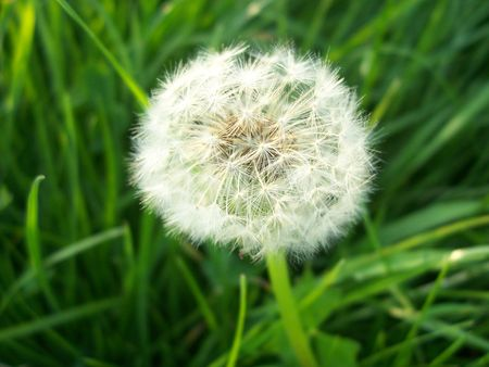 macro shot of a dandelion. focus is on the dandelion. Stock Photo - 927391