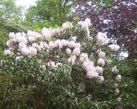 exbury: pink  white rhododendron in spring, at Exbury Gardens (UK)