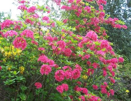 exbury: pink azalea in spring, at Exbury Gardens (UK)