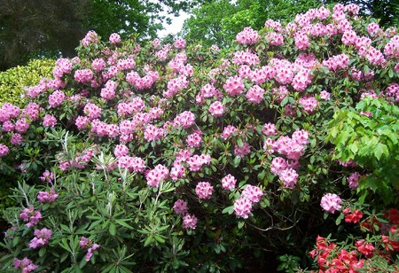 exbury: pink rhododendron in spring, at Exbury Gardens (UK) Stock Photo