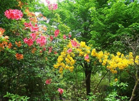 exbury: rhododendron, azalea and trees at Exbury Gardens UK Stock Photo