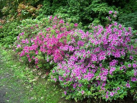 exbury: purple azaleas in spring at Exbury Gardens