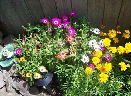 daisys: Daisys in a pot and a Coreopsis beside it