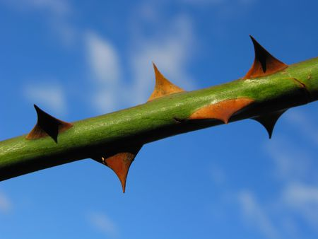 thorny: Thorny Rose Branch