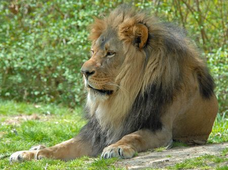 A resting male lion photo
