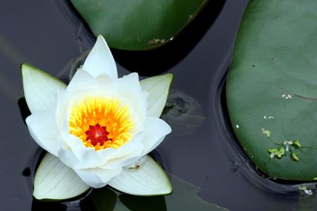 Water lily Stock Photo - 259883