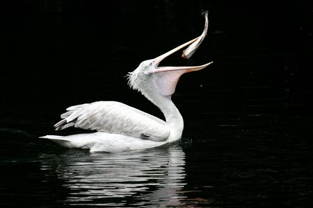 The bird a pelican eats a fish