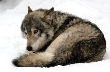 earnest: lobo en busca de una distancia