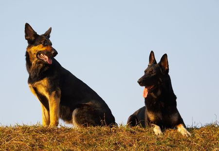 security dogs Stock Photo - 851041
