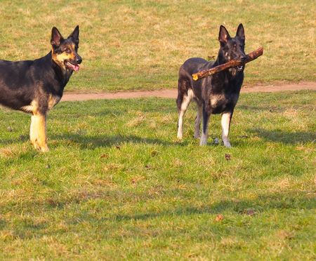 security dogs Stock Photo - 851043