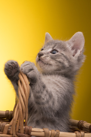 Little funny kitten in studio on yellow background photo