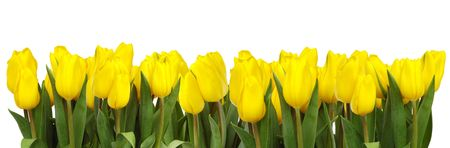 bulbous: A line of bright yellow tulips on white backgound