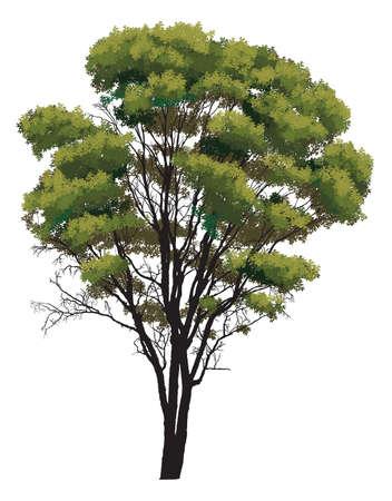 arboles blanco y negro: Natural �rbol verde sobre un fondo blanco Vectores