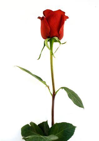 Foto de una rosa roja  Foto de archivo - 327048